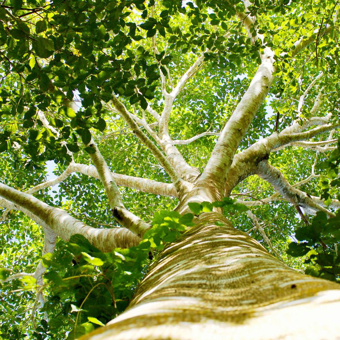 Een-oude-Verdolago-boomkopie.jpg